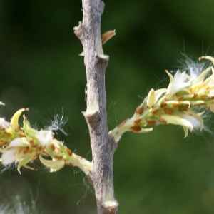 Salix eleagnos Scop. (Saule à feuilles cotonneuses)