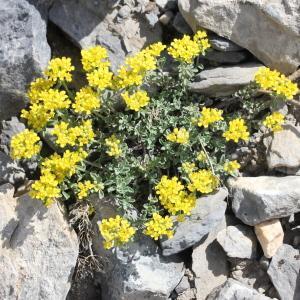 Photographie n°835740 du taxon Alyssum alpestre L.