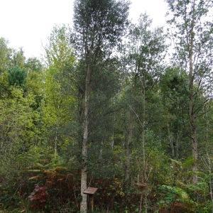 Photographie n°835838 du taxon Quercus suber L. [1753]