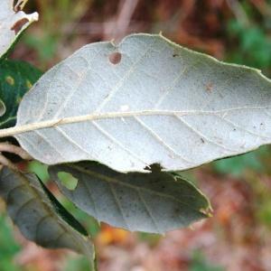 Photographie n°835840 du taxon Quercus suber L. [1753]