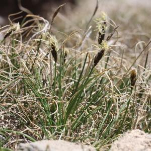 Photographie n°836240 du taxon Carex curvula All. [1785]