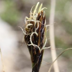 Photographie n°836250 du taxon Carex curvula All. [1785]