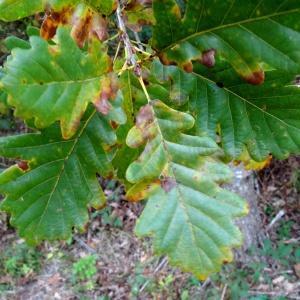 Photographie n°836282 du taxon Quercus petraea subsp. petraea