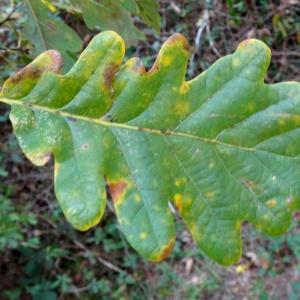 Photographie n°836286 du taxon Quercus petraea subsp. petraea