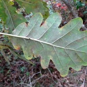Photographie n°836288 du taxon Quercus petraea subsp. petraea