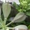 Marie  Portas - Noccaea rotundifolia (L.) Moench