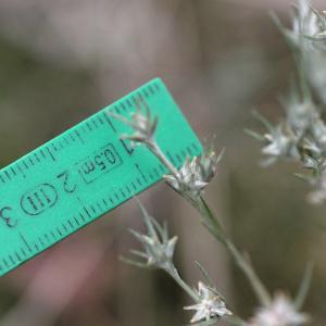 Photographie n°837268 du taxon Logfia gallica (L.) Coss. & Germ.