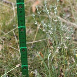 Photographie n°837277 du taxon Logfia gallica (L.) Coss. & Germ.