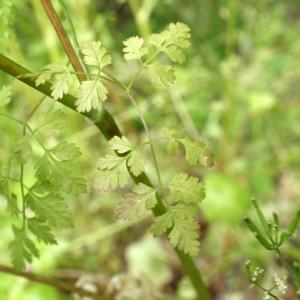 Photographie n°837874 du taxon Anthriscus cerefolium (L.) Hoffm. [1814]