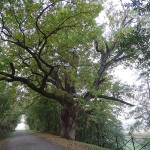 Photographie n°838459 du taxon Quercus robur L. [1753]