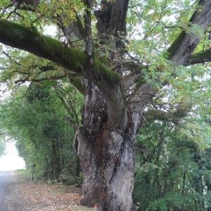 Photographie n°838461 du taxon Quercus robur L. [1753]