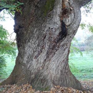 Photographie n°838466 du taxon Quercus robur L. [1753]