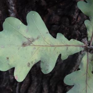 Photographie n°838468 du taxon Quercus robur L. [1753]