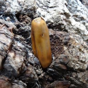 Photographie n°838477 du taxon Quercus robur L. [1753]