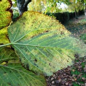 Photographie n°838597 du taxon Tilia americana L. [1753]
