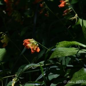 Photographie n°839242 du taxon Lathyrus ochraceus Kitt. [1844]