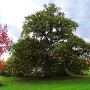 Photographie n°839529 du taxon Quercus robur var. robur
