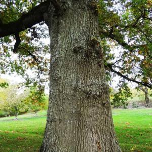 Photographie n°839533 du taxon Quercus robur var. robur