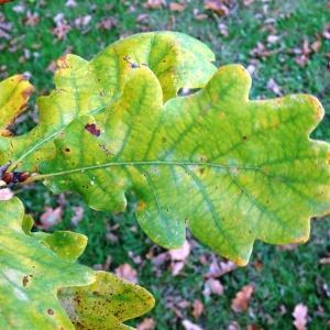Photographie n°839537 du taxon Quercus robur var. robur