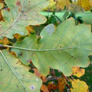Photographie n°839539 du taxon Quercus robur var. robur