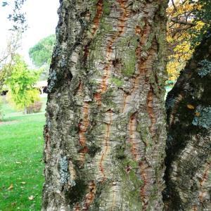 Photographie n°840493 du taxon Quercus suber L. [1753]