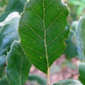 Photographie n°840500 du taxon Quercus suber L. [1753]