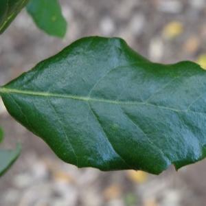 Photographie n°840502 du taxon Quercus suber L. [1753]