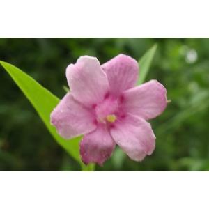 Jasminum sp.