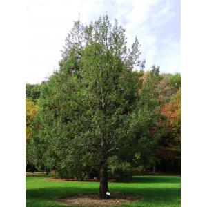 Quercus trojana Webb