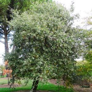 Photographie n°840721 du taxon Quercus faginea Lam.
