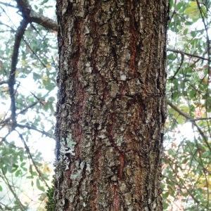 Photographie n°840725 du taxon Quercus faginea Lam.