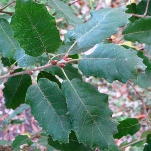 Photographie n°840727 du taxon Quercus faginea Lam.