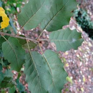 Photographie n°840729 du taxon Quercus faginea Lam.