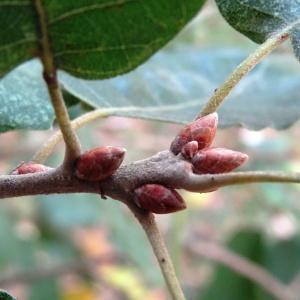 Photographie n°840731 du taxon Quercus faginea Lam.