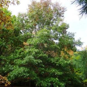 Photographie n°841240 du taxon Quercus palustris Münchh.