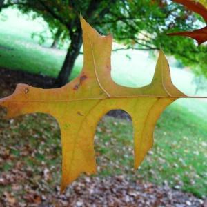 Photographie n°841320 du taxon Quercus palustris Münchh.