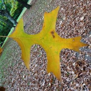 Photographie n°841324 du taxon Quercus palustris Münchh.