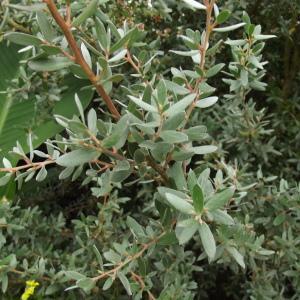 Leptospermum sp.