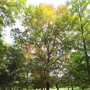 Quercus velutina Lam. (Chêne noir)