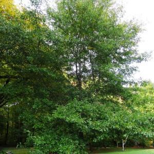 Photographie n°843270 du taxon Quercus nigra L.