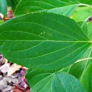 Photographie n°847416 du taxon Hydrangea paniculata Siebold [1829]