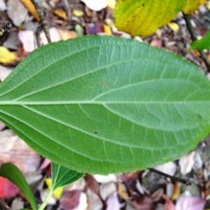 Photographie n°847417 du taxon Hydrangea paniculata Siebold [1829]