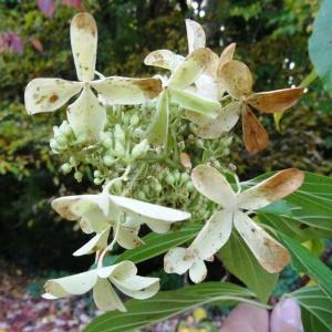 Photographie n°847420 du taxon Hydrangea paniculata Siebold [1829]