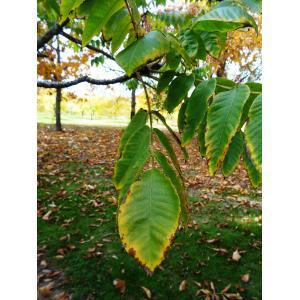Juglans ailantifolia Carrière (Noyer du Japon)