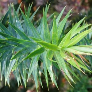 - Araucaria angustifolia (Bertol.) Kuntze