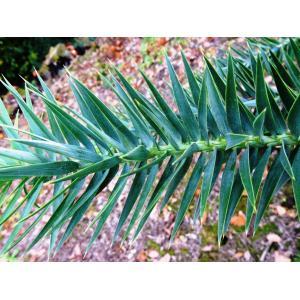 Araucaria angustifolia (Bertol.) Kuntze