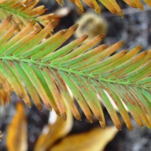 Photographie n°849653 du taxon Metasequoia glyptostroboides Hu & W.C.Cheng [1948]
