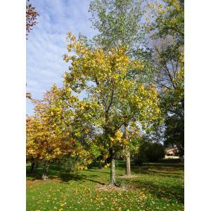 Populus balsamifera L. (Peuplier baumier)