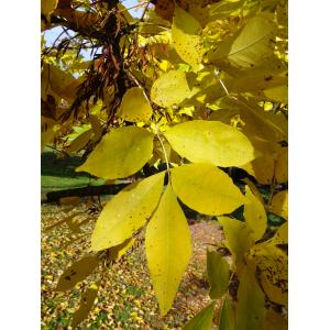 Fraxinus pennsylvanica Marshall (Frêne de Pennsylvanie)