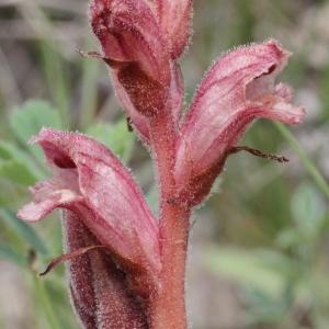 Photographie n°850229 du taxon Orobanche alba Stephan ex Willd.